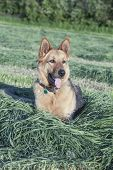 Beautiful female German shepherd resting in the hay