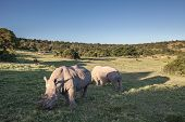 Two Rhino eating grass