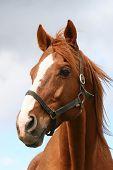 Beautiful brown thoroughbred horse head at farm