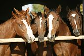 stock photo of horse face  - Nice thoroughbred foals in stable. Horses in the barn