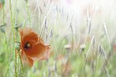 poppy wild field flower, Papaver rhoeas is a bright red wildflower these flowers grow in meadows and