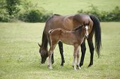 Thoroughbred mare and foal in pasture following mother.