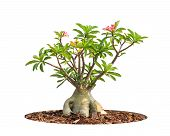 foto of desert-rose  - Adenium obesum tree also known as Desert Rose Impala Lily Mock Azalea tropical tree in the northeast of Thailand isolated on white background - JPG