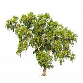 pic of northeast  - Acacia auriculiformis commonly known as Auri Earleaf acacia Earpod wattle Northern black wattle Papuan wattle Tan wattle tropical tree in the northeast of Thailand isolated on white background - JPG