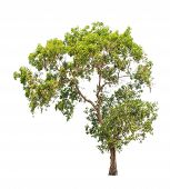 Acacia Auriculiformis, Commonly Known As Auri, Earleaf Acacia, Earpod Wattle, Northern Black Wattle,