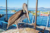 Standing Pelican In Coquimbo