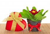 Primula, gift box of heart on the bamboo cloth