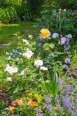 stock photo of catnip  - Beautiful garden with blooming roses and catnip in foreground - JPG