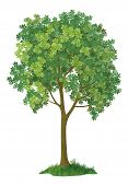 Chestnut tree. Vector