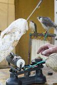 Falconer weighing a bird, UK