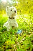 stock photo of west highland white terrier  - west highland white terrier on the grass