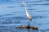 Grey Heron Bird Wetland Water