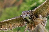 Eagle Owl Flying Low