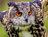 Eagle Owl closeup