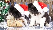 foto of sheltie  - christmas puppies Sheltie wearing a santa hat - JPG