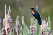 Male Red-winged Blackbird In A Cat-tail