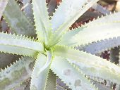 image of spiky plants  - Aloe vera plants tropical green plants tolerate hot weather - JPG