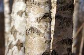 Birches trunks.