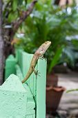 Brown Lizard or asian lizard