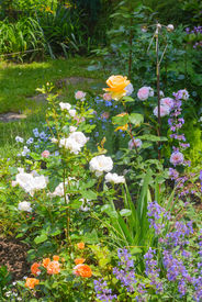 foto of catnip  - Beautiful garden with blooming roses and catnip in foreground - JPG