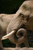 African elephant (Loxodonta africana).