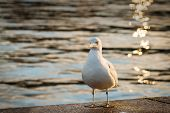 Gull by water's edge in evening light