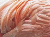 Background of pink flamingo feathers