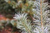 Frosted pine brunch in early winter time