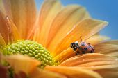 A single ladybug explores a yellow daisy.