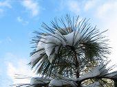 Snowy Pine Tree Top