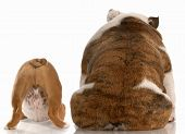 Bulldog Backsides