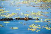 Saltwater crocodile in wetland
