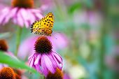 Monarch Butterfly on ConeFlowers