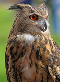 Large Owl With Orange Eyes And The Thick Plumage
