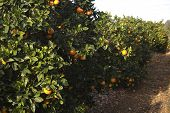 foto of valencia-orange  - Fields of agriculture in the Mediterranean region of maestazgo in the Valencian community - JPG