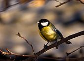 stock photo of sun perch  - Tit perched on a tree branch in the sun