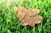 Closeup Of Oak Leaf On Green Grass