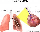 Structure of the human lungs
