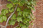 Ivy leaves climb up an old brick wall
