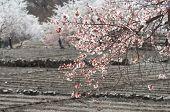 Potato Field And Plum Tree In Leh, India