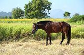 Horses Grazing Grass