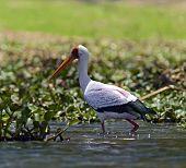 Yellow-billed Stork