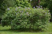 pic of lilac bush  - Lilac bush at the spring season - JPG