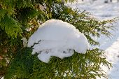 Snow On A Thuja Branch