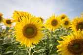 pic of sunflower  - sunflower in field with blue sky - JPG