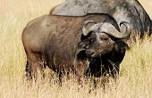Cape buffalo (Syncerus caffer) on the Masai Mara National Reserve safari in southwestern Kenya.