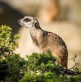 Slender tailed Meerkats on a warm autumn evening