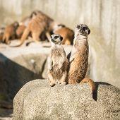 family of meerkats  on a warm autumn evening