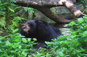 Black bear in the water