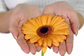 Woman's Hands Holding Orange Flower